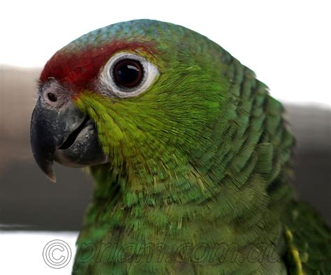 Parrot Photos from Priam Parrot Breeding