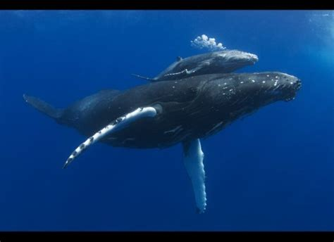 Swimming With A Bumper Crop Of Humpback Whale Calves