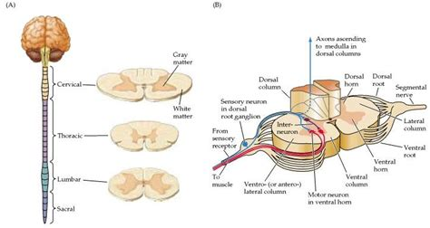 Neurons, the Spinal Cord and Spinal Nerves Flashcards