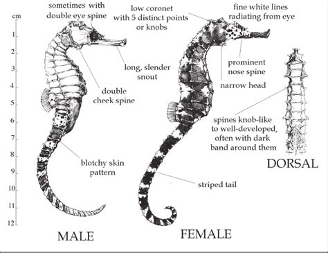 Seahorses on Singapore shores: how to tell them apart