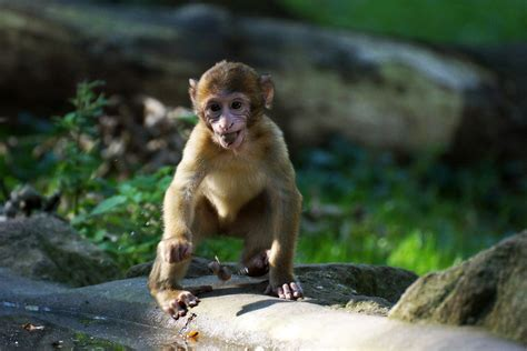 Barbary Macaque Facts, Habitat, Diet, Pictures