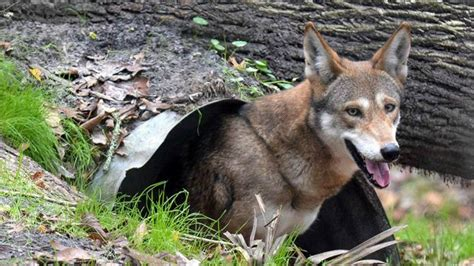 Effort to prevent 'coywolf' hybrids is working, study