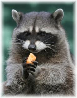 All you need to know! - Raccoons - The Most Adorable Creature!