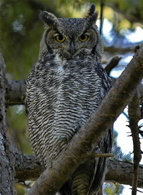 Great Horned Owl - Bubo virginianus | The Aviary at Owls