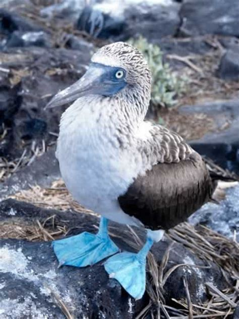 blue-footed Booby - Sula nebouxii | Wildlife Journal Junior