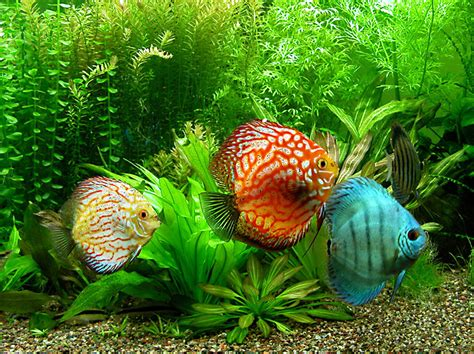 Discus | Fish Info and Photos | The Wildlife