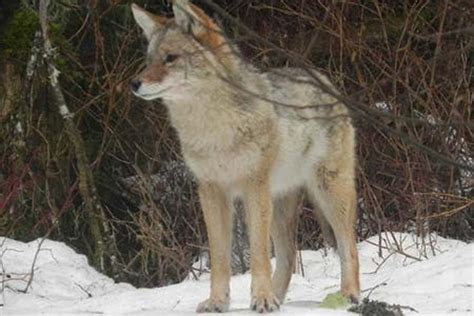 Coyote Species Profile, Alaska Department of Fish and Game