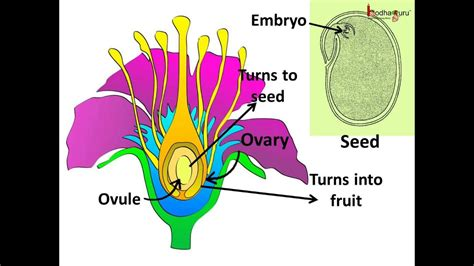 Science - Sexual Reproduction in plants - Pollination