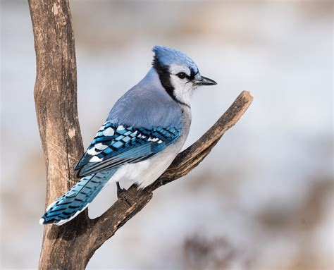 What Do Blue Jays Eat? » Science ABC